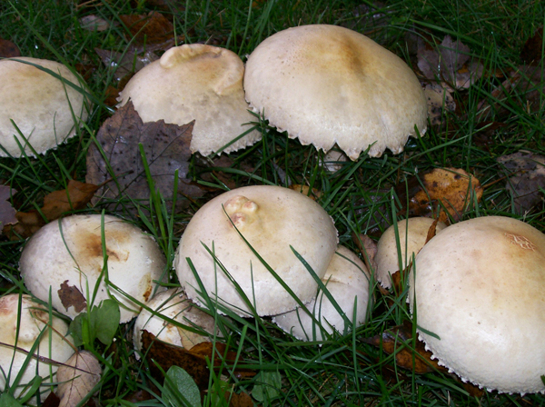 Photo showing a group of Horse Mushrooms