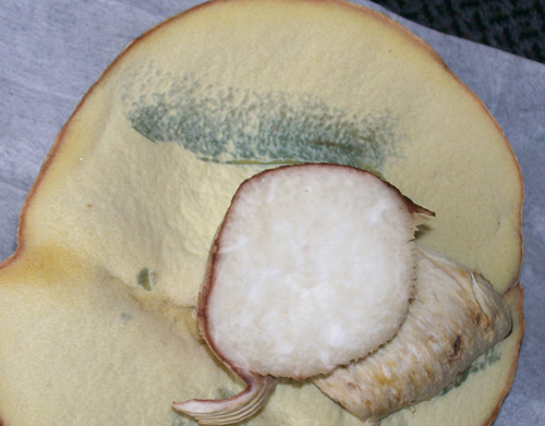 Photo demonstrating the bruising color change to bluish-gray on the pore surface of Almost Bluing King Bolete