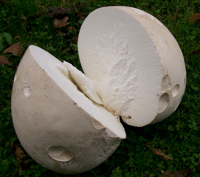 Photo of a Giant Puffball cut in half to check inside edibility - Langermannia gigantea