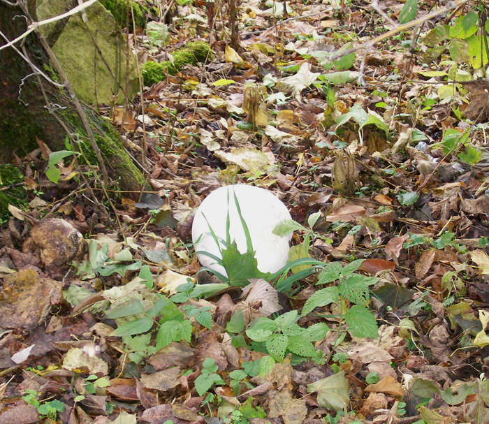 Photo of a Giant Puffball near wood edge - Langermannia gigantea