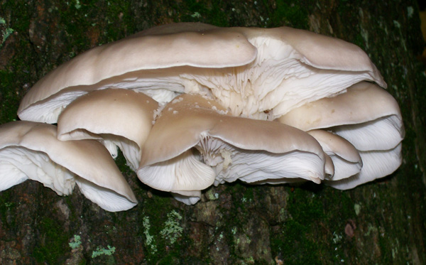 Photo of second group of Oyster Mushroom, looking up from below - Pleurotus ostreatus
