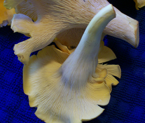 Photo demonstrating the very blunt, almost smooth surface of the spore producing layer on Smooth Chanterelles - Cantharellus lateritius