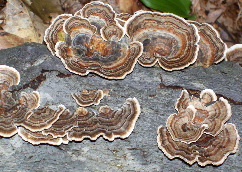 Photo of various growth forms of Turkey Tail mushrooms - Trametes versicolor