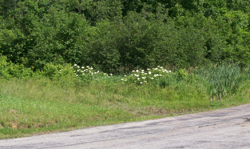 photo of a patch of Black Elderberries seen from a distance