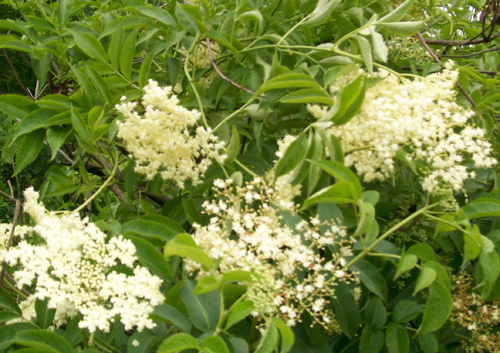 photo of close-up of Black Elderberry flower blossoms.