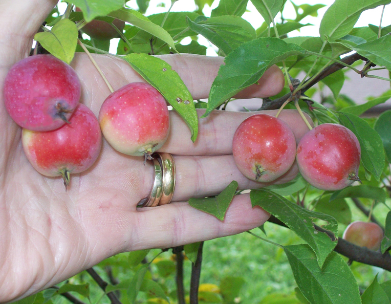 Photo of 5 nice sized crabapples.