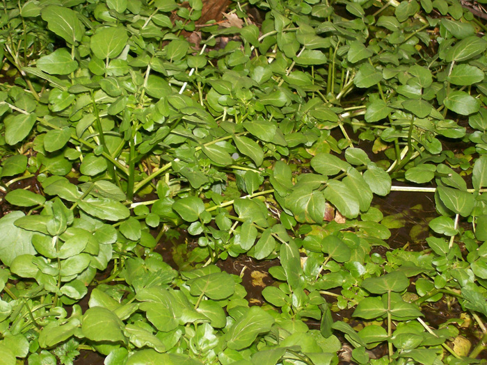 photo of watercress in a spring seep March.