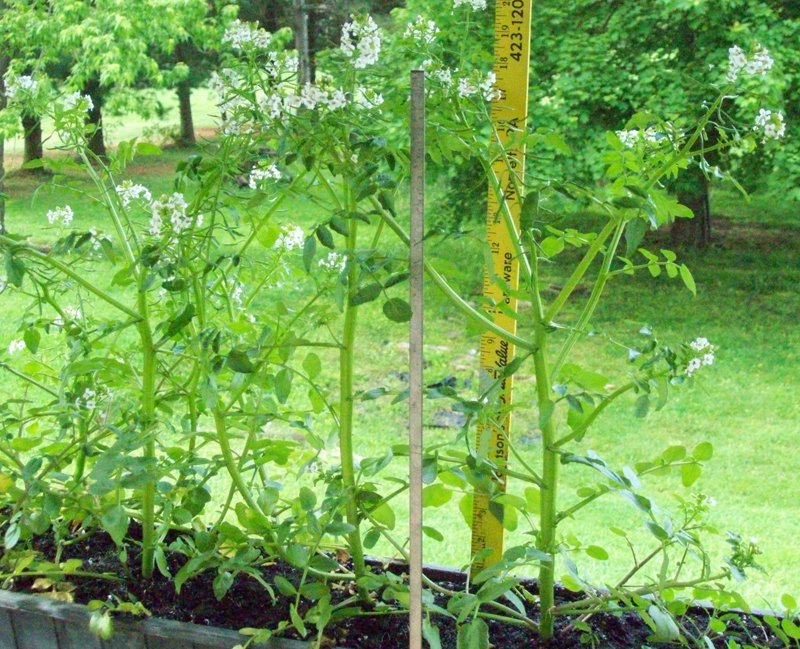 photo of several transplanted watercress plants that are a bit over 20 inches tall by May 10
