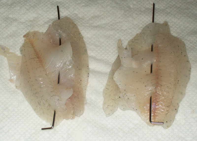 photo of a couple of bluegill fillets joined together prior to cooking.