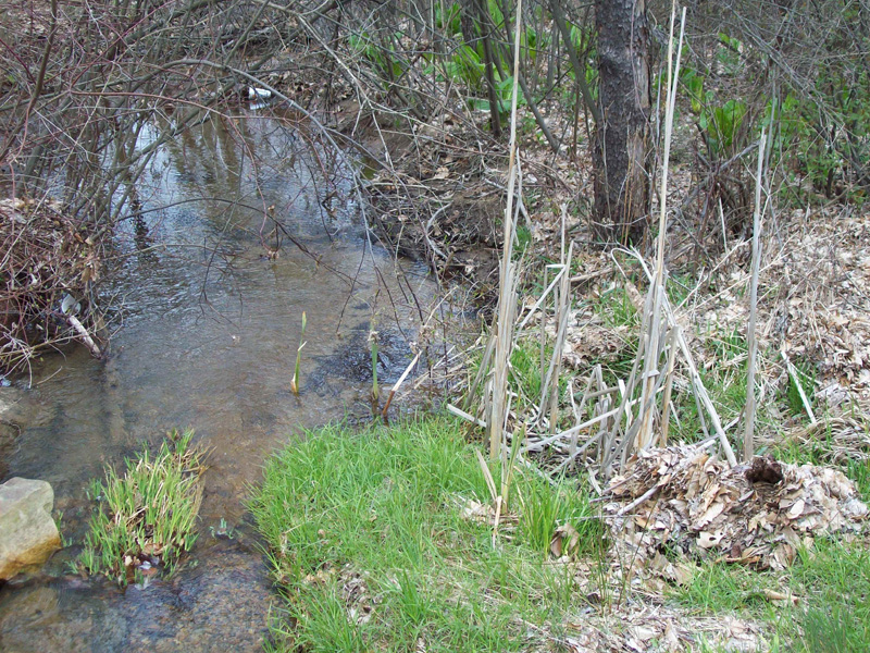 Photo of a group of cattails growing along the edge of a spring seep which is a native trout stream tributary.