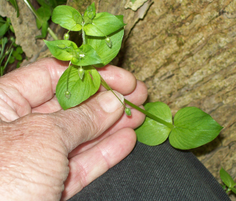 Photo of a nice sample of chickweed stem sections.