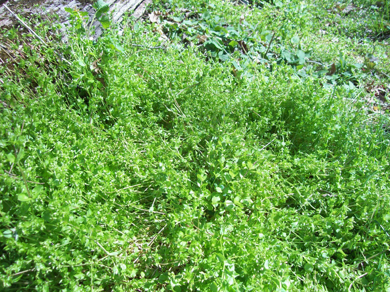 Photo of a stressed patch of chickweed.
