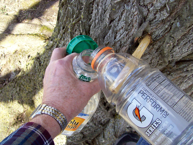 photo of a gatorade bottle full of sap being emptied into collecting jug.