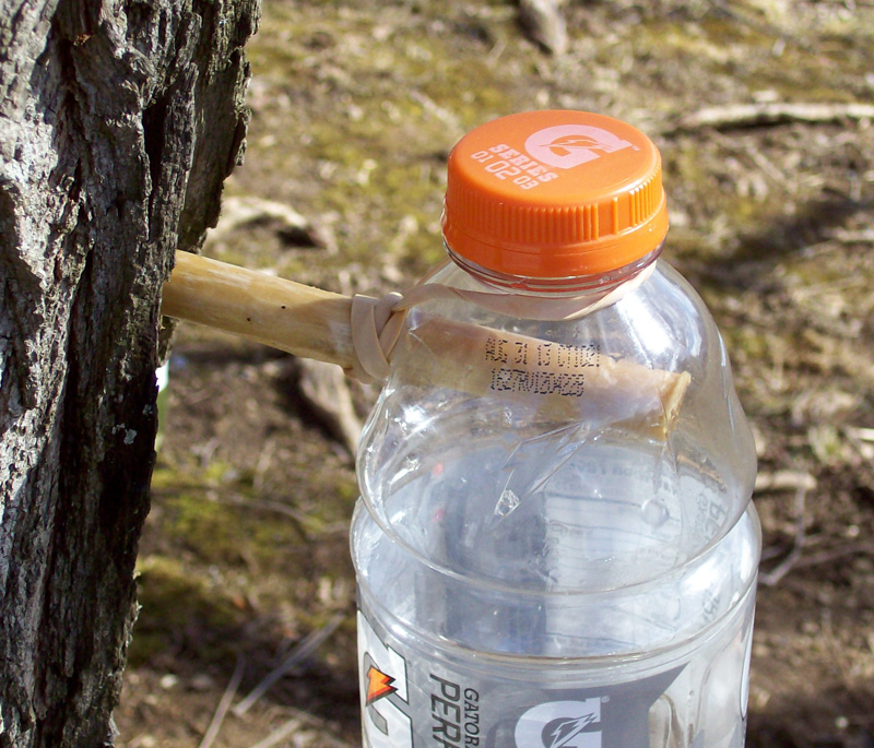 photo showing gatorade bottle hanging on elderberry spile and held in place by rubber band.